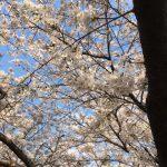 週末どこ行く?〈桜まつり編〉